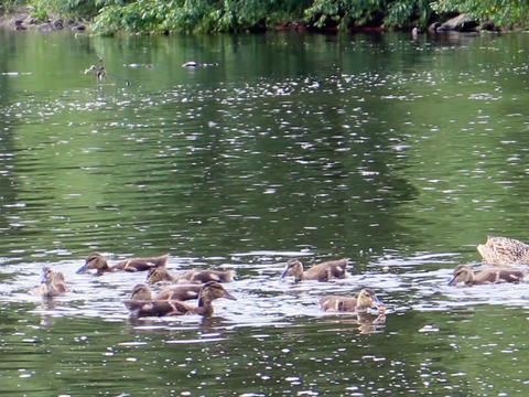 Ducklings at the shore. Ekaterinburg, Russia.. 640 Footage