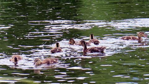 Ducklings eat bread. Ekaterinburg, Russia.. 1280x7 Footage