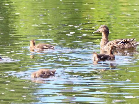 Ducks swim. Ekaterinburg, Russia.. 640x480 Stock Video Footage
