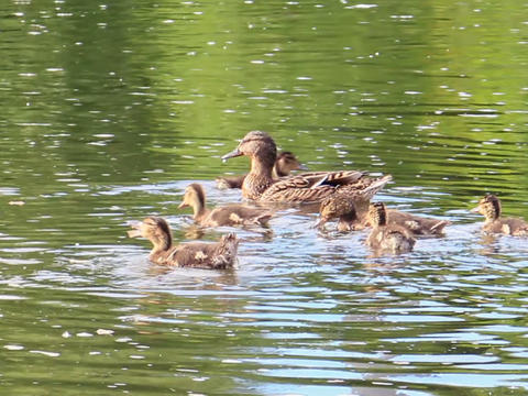 Ducks swim. Ekaterinburg, Russia.. 640x480 Stock Video Footage