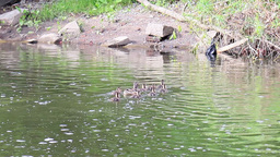 Family Of Ducks. Ekaterinburg, Russia stock footage