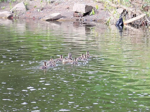 Family of ducks. Ekaterinburg, Russia.. 640x480 Stock Video Footage