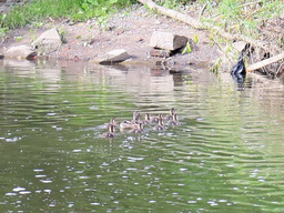 Family of ducks. Ekaterinburg, Russia.. 640x480 Footage