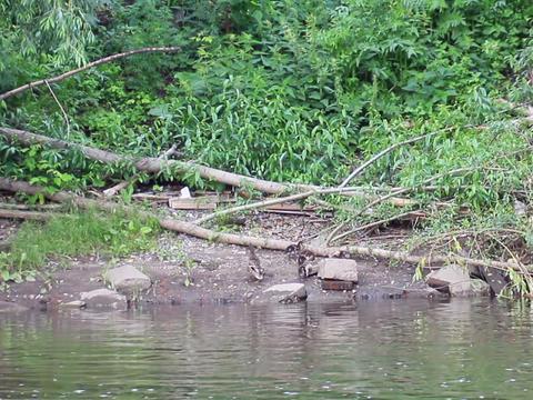 Water duck and ducklings. Ekaterinburg, Russia.. 6 Footage