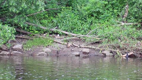 Ducks swim in the water. Ekaterinburg, Russia.. 12 Footage