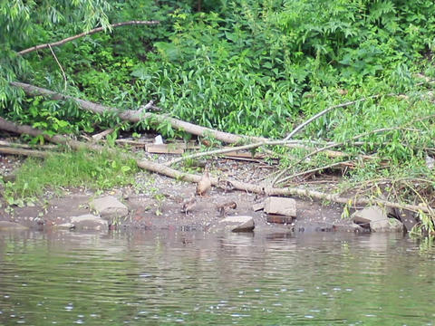 Ducklings on the water. Ekaterinburg, Russia.. 640 Footage