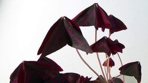Awakening flower. Time-Lapse Stock Video Footage