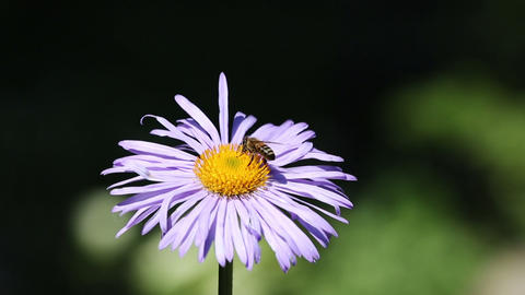 Bee Gathering Nectar On The Flower stock footage