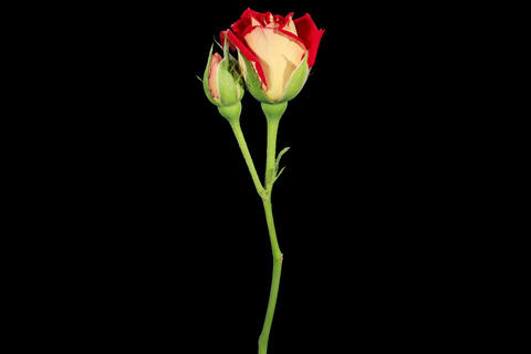 4K. Blooming red roses flower buds ALPHA matte, Ul Stock Video Footage