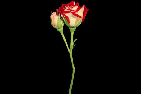 4K. Blooming red roses flower buds ALPHA matte, Ul Footage