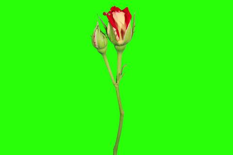 4K. Blooming red roses flower buds green screen, U Stock Video Footage