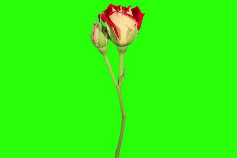 4K. Blooming red roses flower buds green screen, U Footage
