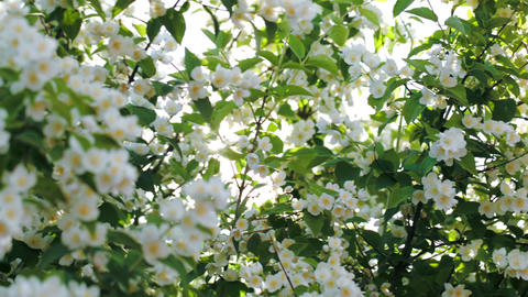 Sun shining through the blooming apple tree Stock Video Footage
