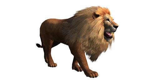 Lion walk,Endangered wild animal wildlife walking Stock Video Footage