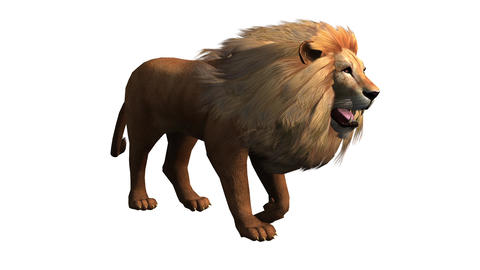 Lion walk,Endangered wild animal wildlife walking Live Action