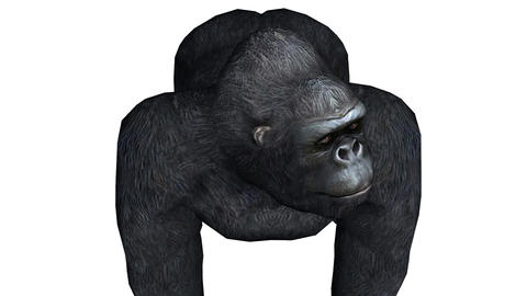 Chimp & Chimpanzee looked around,Endangered wild monkey animal Footage