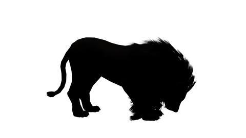 Lion bite eating,Endangered wild animal wildlife sketch silhouette Footage