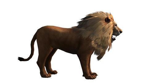 Lion howl trumpet,Endangered wild animal wildlife Stock Video Footage