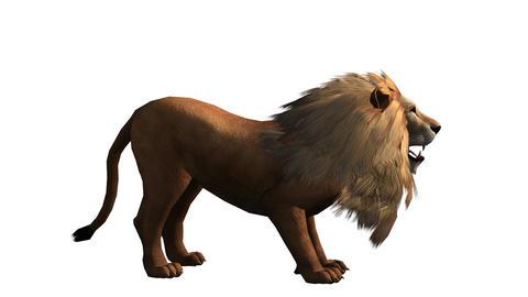 Lion howl trumpet,Endangered wild animal wildlife Live Action