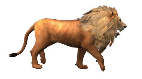 Lion fast walk,Endangered wild animal wildlife walking Live Action
