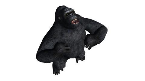 Chimp & Chimpanzee pounding chest show strength,Endangered wild monkey anima Footage