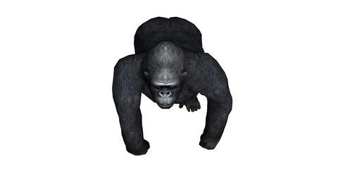Chimp & Chimpanzee walk,Endangered wild monkey animal... Stock Video Footage