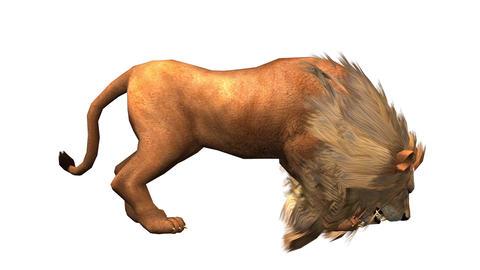 Lion attack bite eating,Endangered wild animal wildlife Stock Video Footage