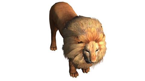 Lion looked around,Endangered wild animal wildlife Footage