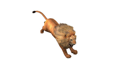 Lion run,Endangered wild animal wildlife running Live Action