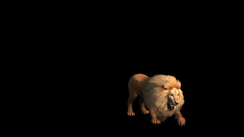Lion jump to attack bite eating,Endangered wild animal wildlife Live Action
