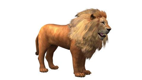 Lion looked around,Endangered wild animal wildlife Live Action