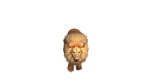 Lion run,Endangered wild animal wildlife running Stock Video Footage