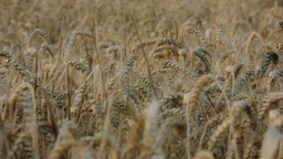 Covered Barley Grains Pan Right 25fps stock footage