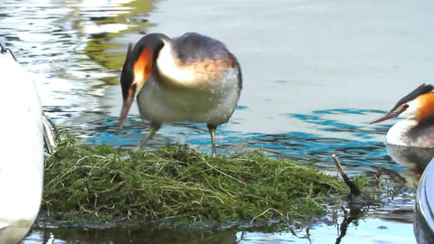 Crested Grebe, Podiceps Cristatus, Duck On Nest stock footage