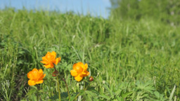 Summer landscape with bright orange flowers Footage