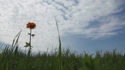 Green grass and a flower against the cloudy sky Footage