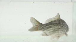 Big crucian carp swims in a glass aquarium Footage