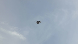 Hawk Flies High In The Sky stock footage