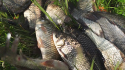 Fishing catch Alive crucians lie on grass Footage