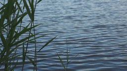 Rippling water and reed Footage