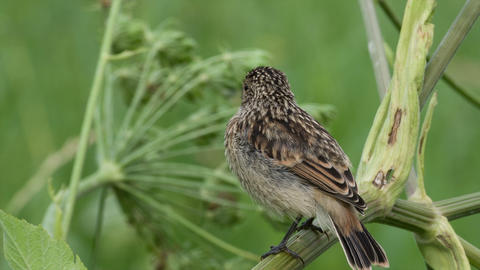 Fledgling stonechat Live Action
