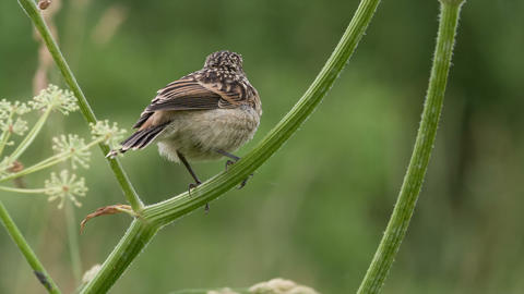 Fledgling stonechat 3 Footage