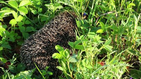 hedgehog goes between grass Stock Video Footage