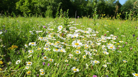 walking through a blossoming meadow with daisies Stock Video Footage