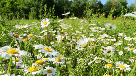 walking through a blossoming meadow with daisies Footage