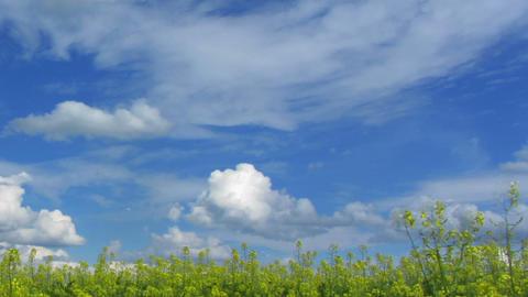 beautiful flowering rapeseed field under blue sky Stock Video Footage