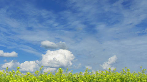 beautiful flowering rapeseed field under blue sky  Footage