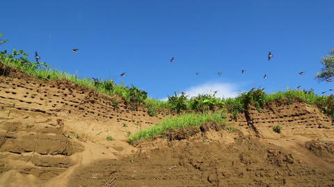 colony of swallows on steep bank of river Footage