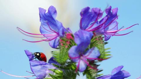 ladybug on blue flower - macro shot Footage