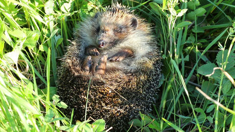 hedgehog curled in the grass Stock Video Footage